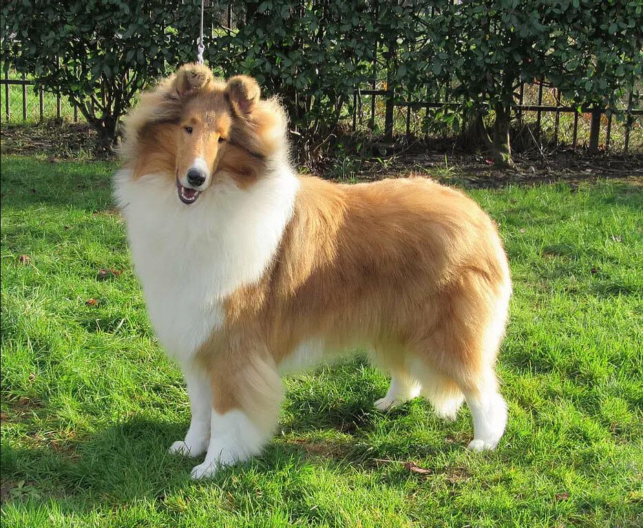 aurealis-heavens-gate-collie-puppy